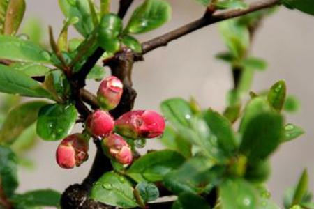 木瓜海棠花如何养才会结果? 4