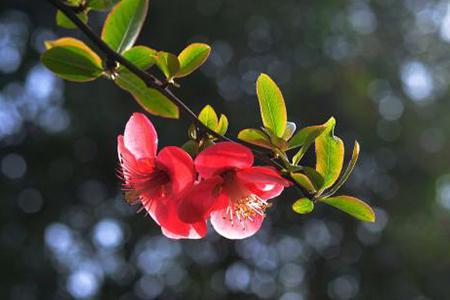 木瓜海棠花如何养才会结果? 3